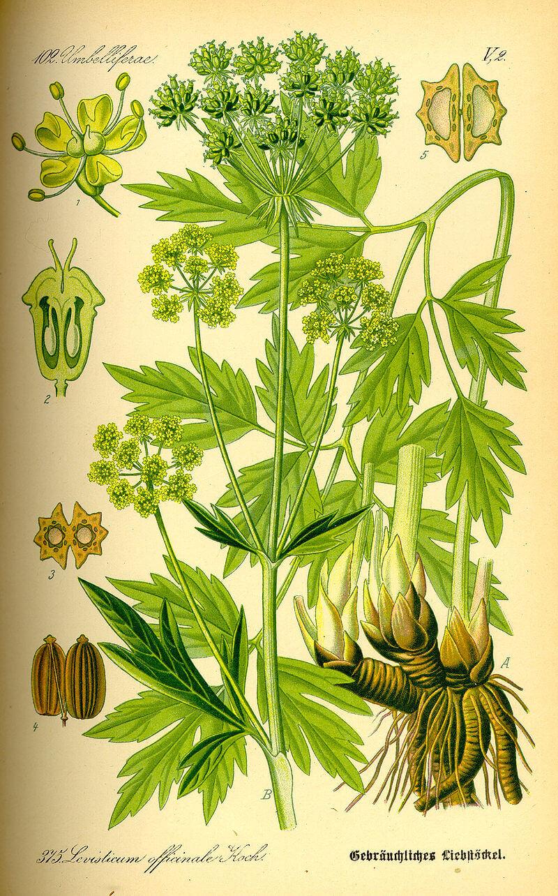 Lestyán (Levisticum officinale)