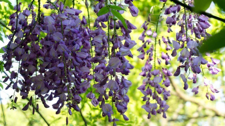 Lila akác növény