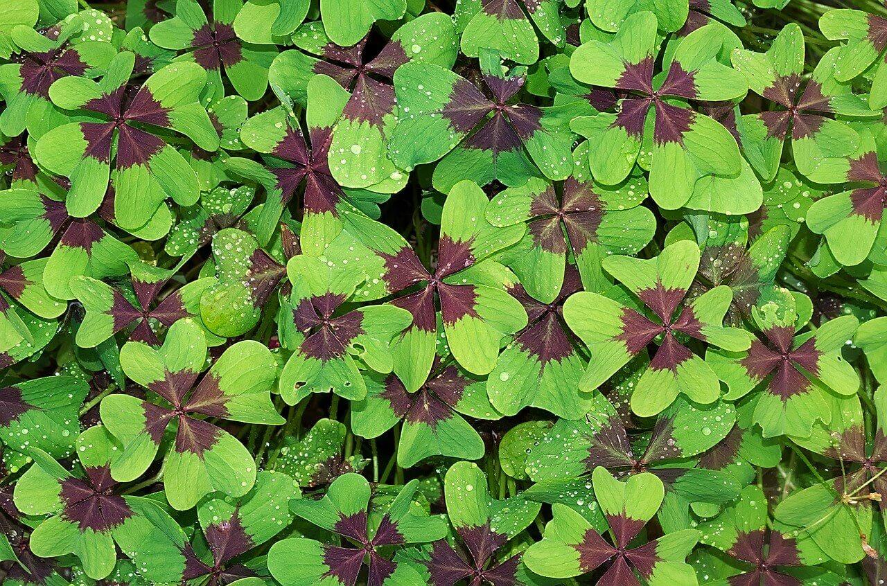 Társított növények: lóhere