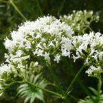 Macskagyökér (Valeriana) gyógynövény