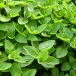 Majoránna fűszernövény (Origanum majorana)