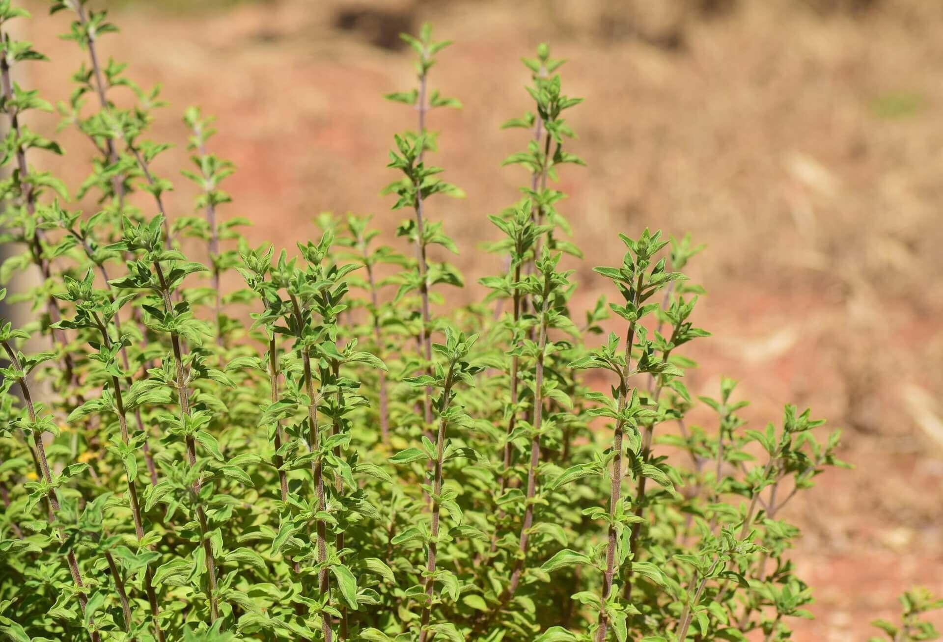 Majoránna (Origanum majorana) fűszernövény