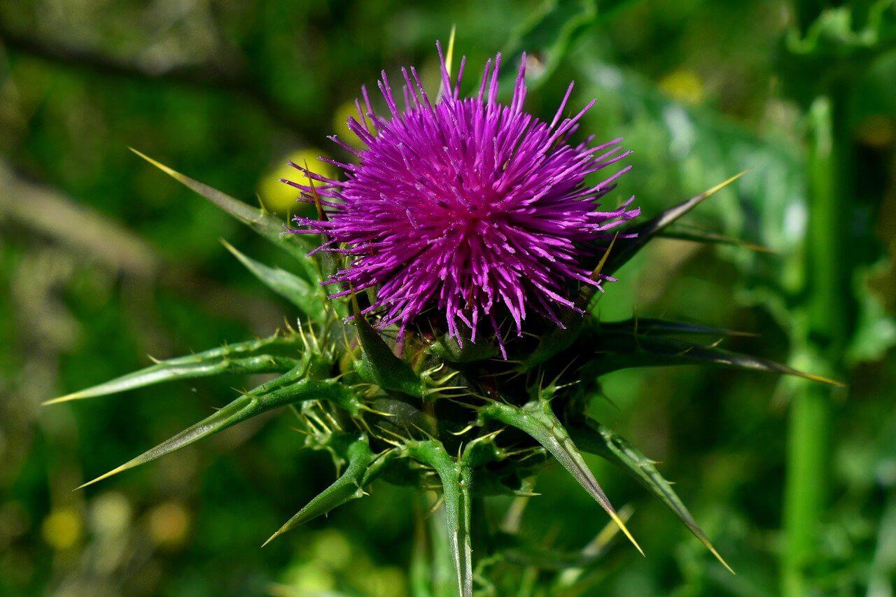 Máriatövis (Silybum marianum)