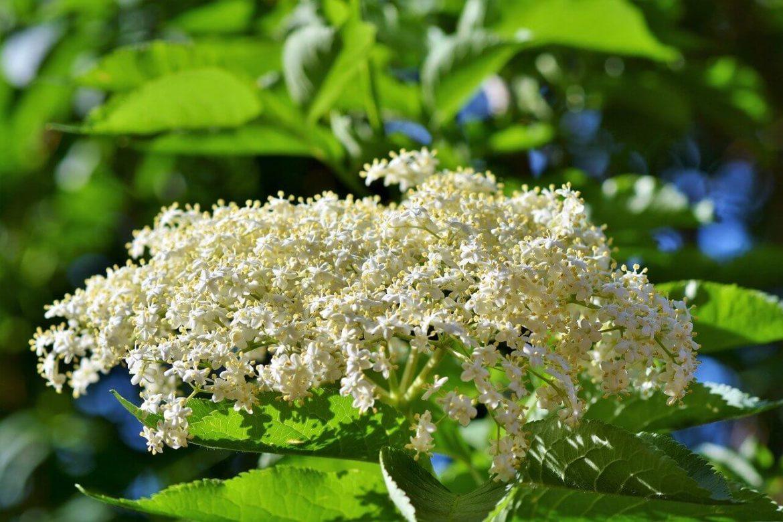 Mikor virágzik a bodza?