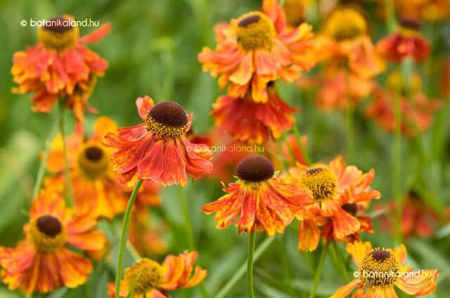 Napfényvirág