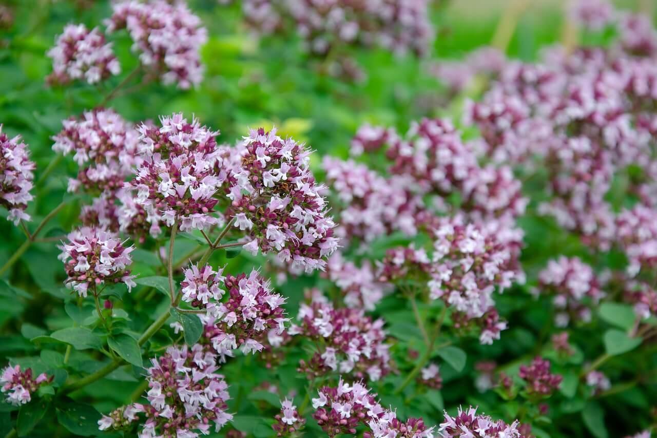 Oreganó fűszernövény (Origanum vulgare)