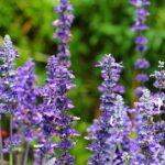 Orvosi zsálya (Salvia officinalis), ha jól szeretnél lenni