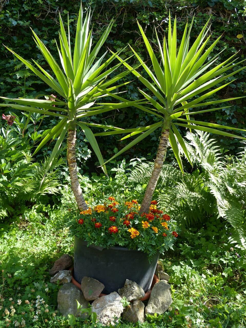 Napot szerető növények: pálmaliliom