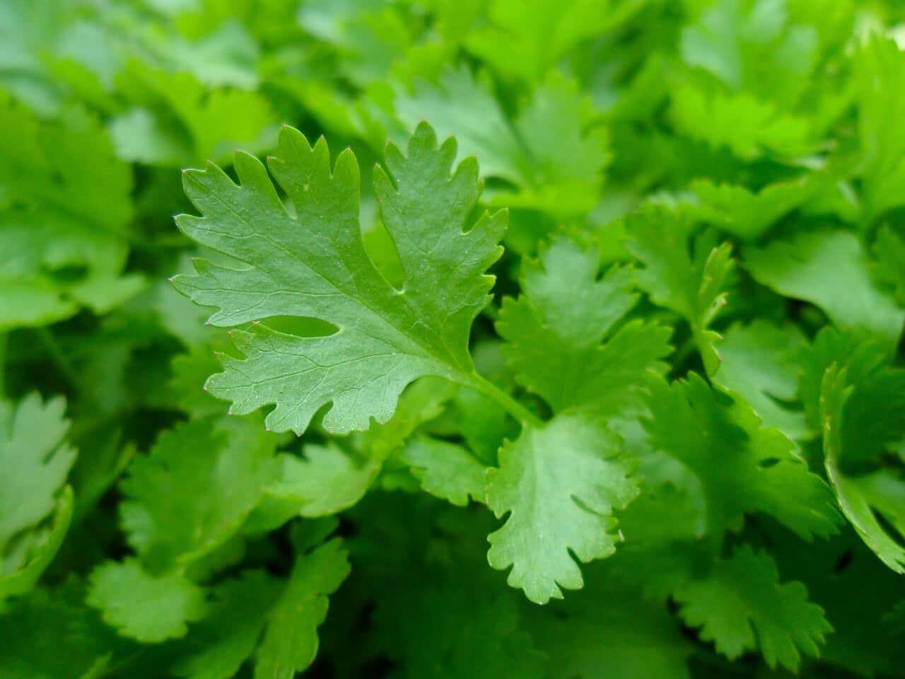 Petrezselyem (Petroselinum) fűszernövény