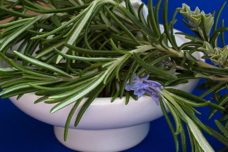 Rozmaring (Salvia rosmarinus) fűszernövény