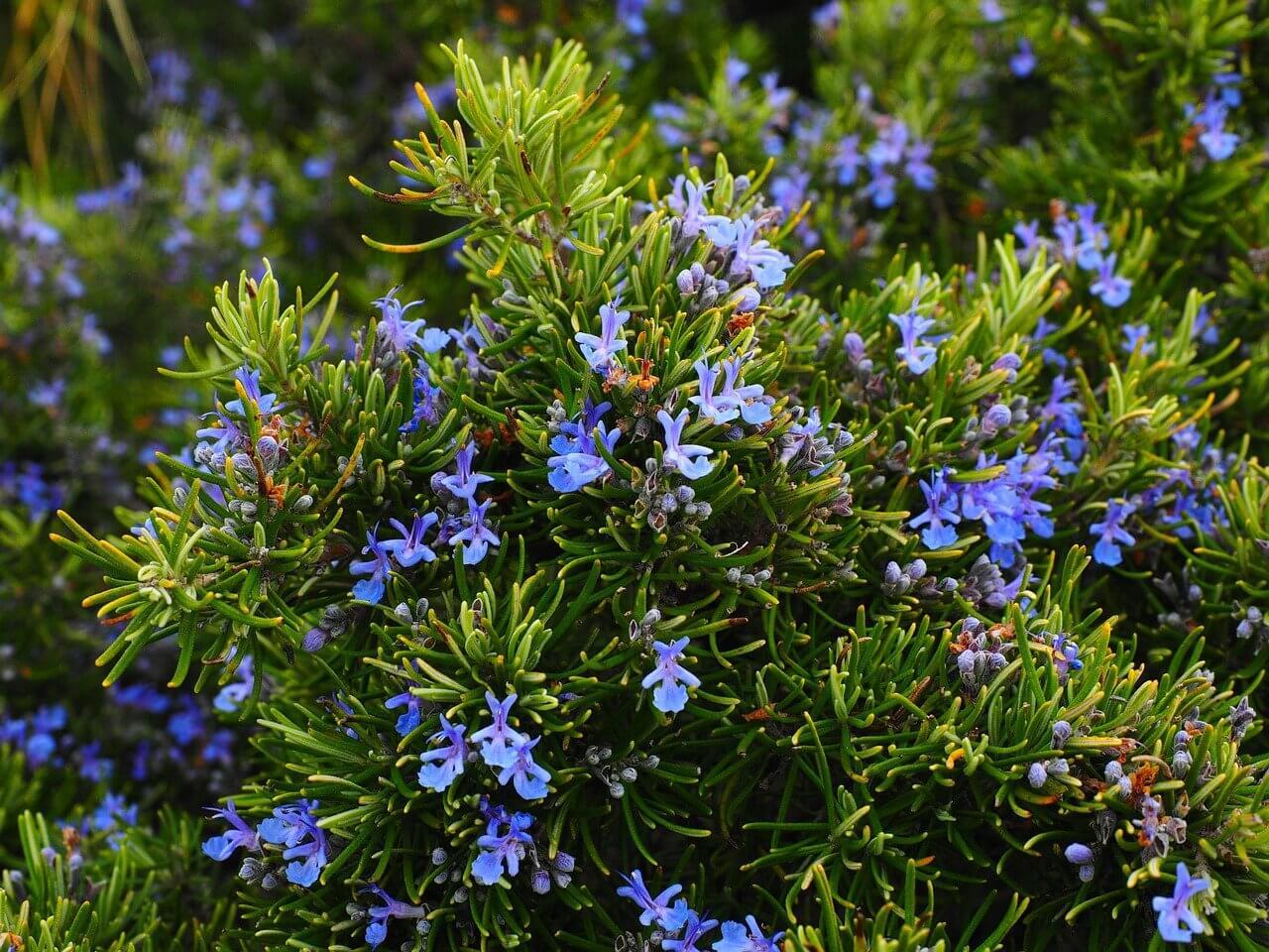 Rozmaring fűszernövény (Salvia rosmarinus)