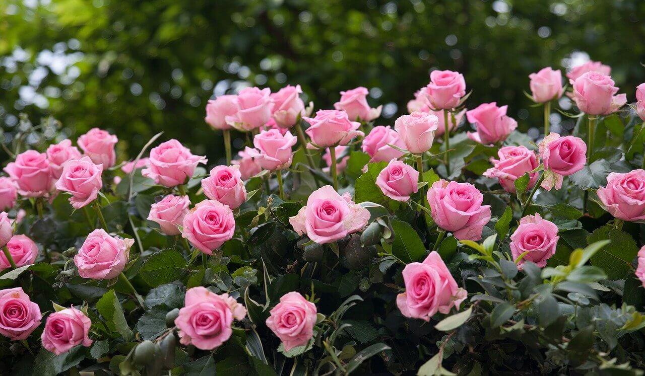 A rózsák metszése