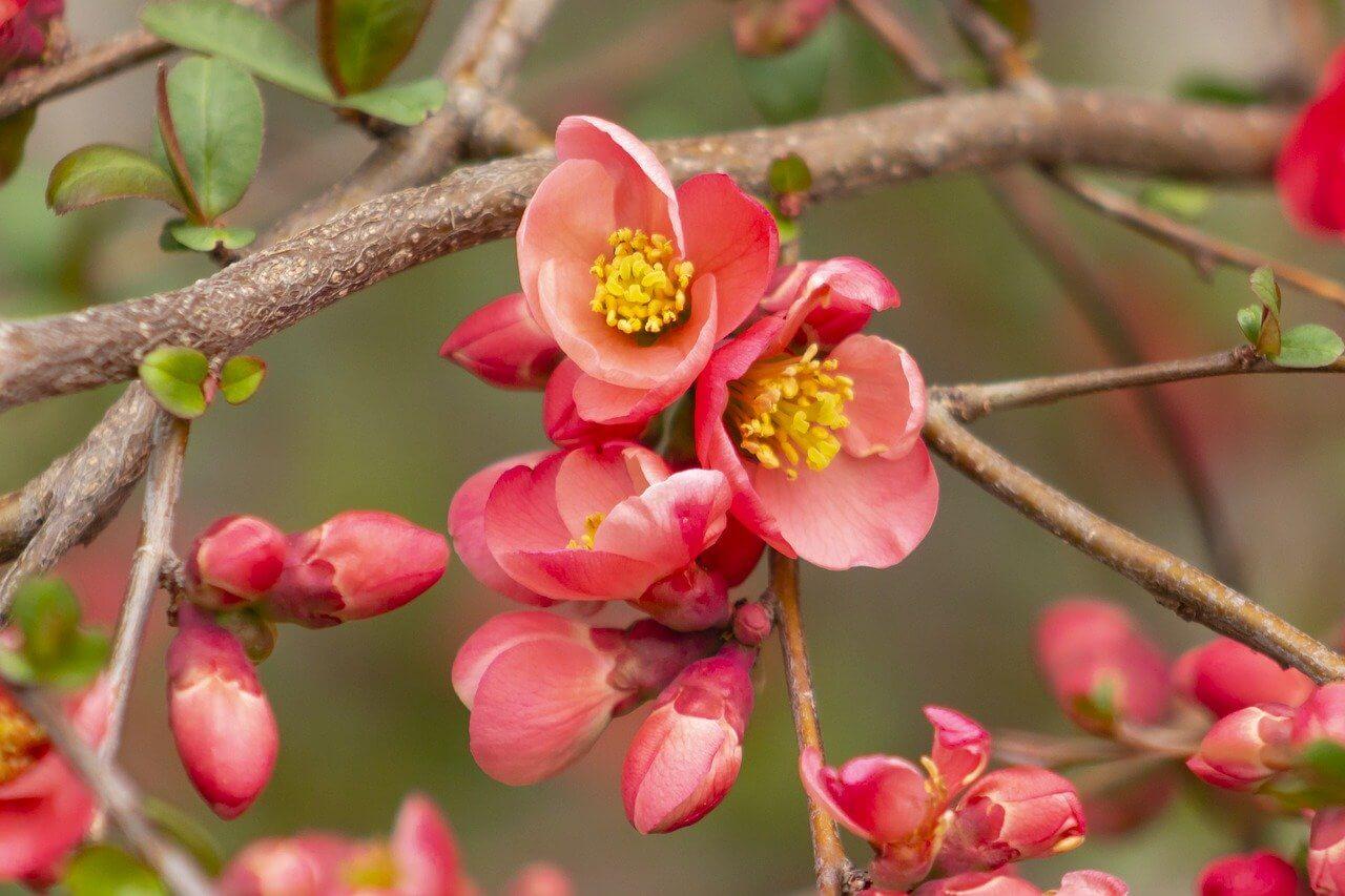 Rózsaszín évelő virágok: Japánbirs