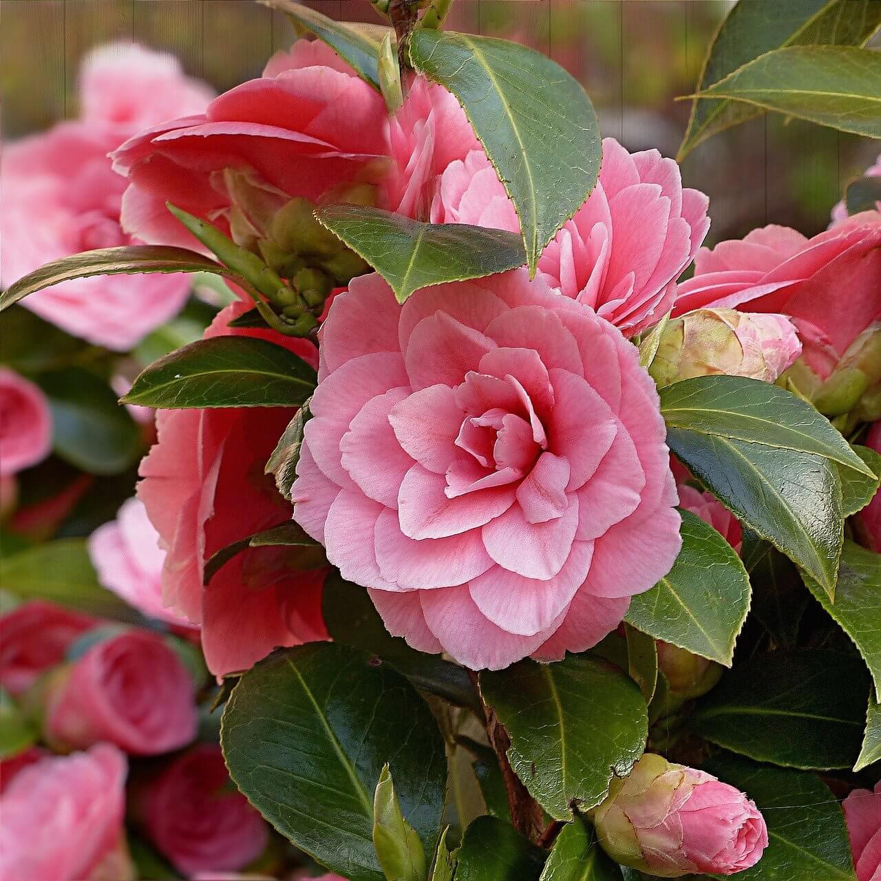 Rózsaszín évelő virágok