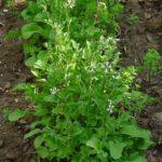 Rukkola növény: saláta, dísz-, gyógy- vagy fűszernövény?