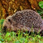 Kertünkben élő állatok – a sün