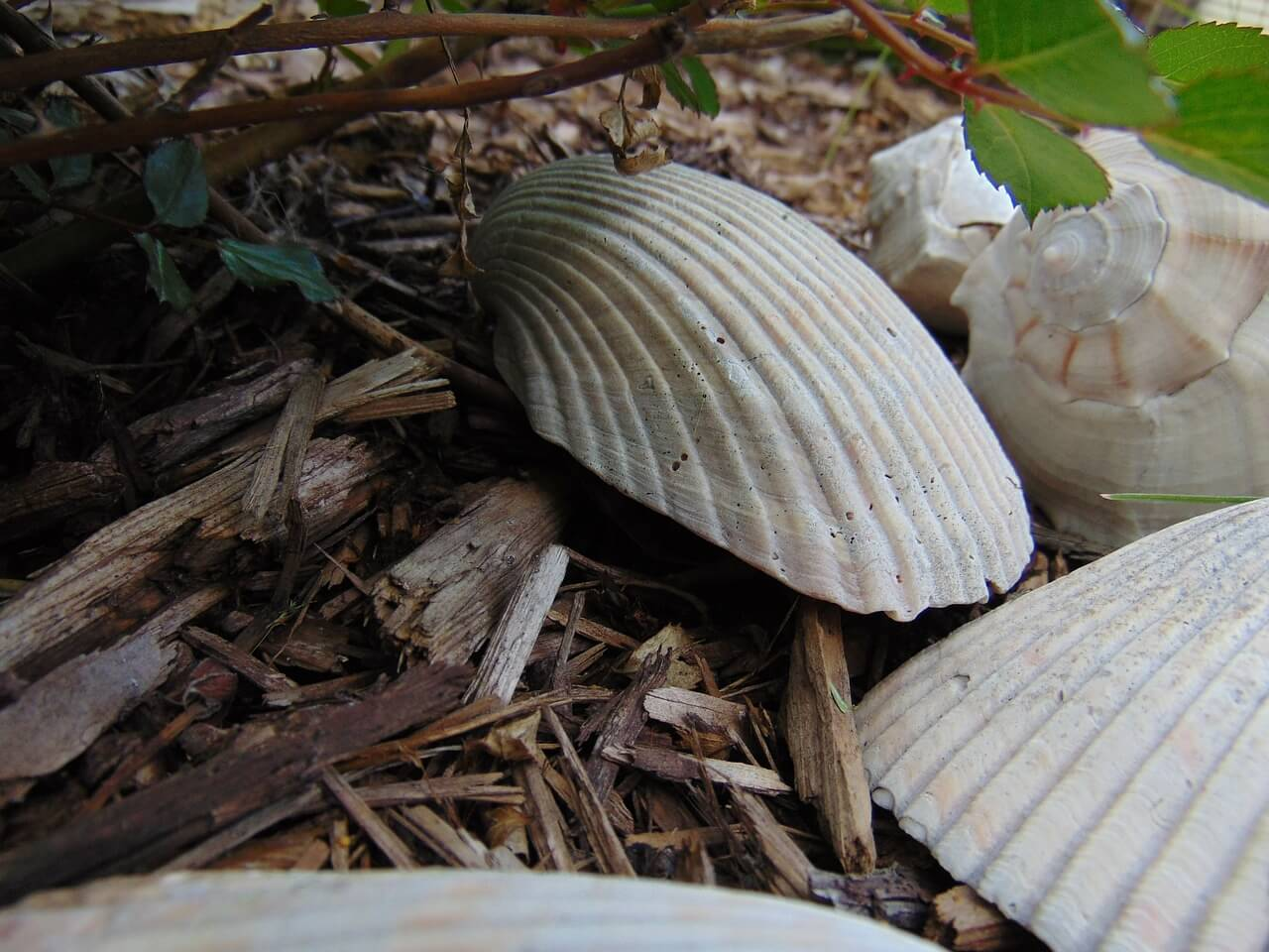 Talajtakaró - kagyló