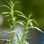 Tárkony (Artemisia dracunculus) fűszernövény