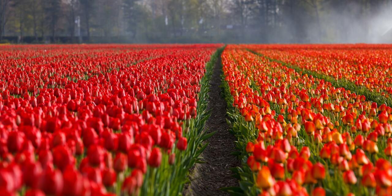 Tulipánmező