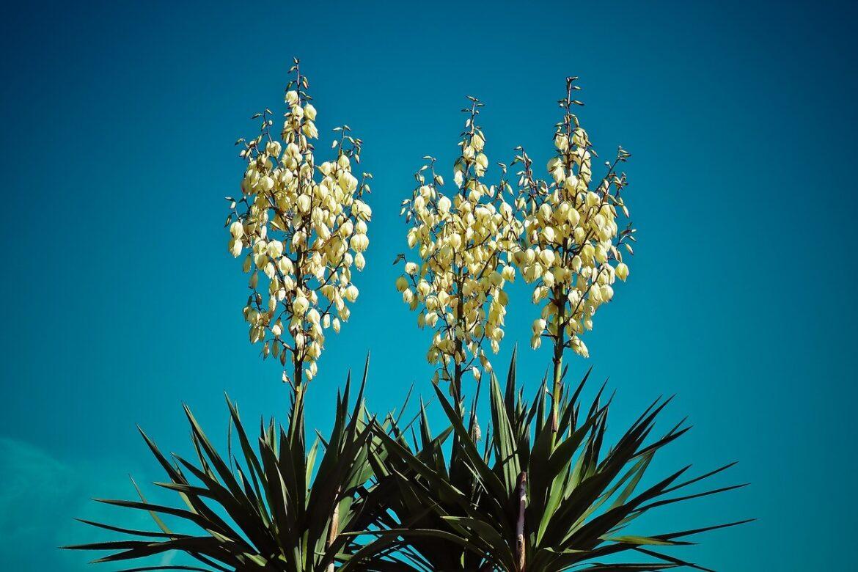 Napot szerető növények: jukka